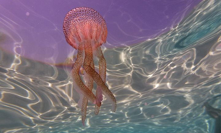 Jellyfish dispersion model launched to track forecasted pathway