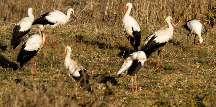 Mixture of hunters & ornithologists all enjoy viewing the storks