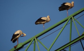 Young Swedish white storks landed in Malta being guarded overnight