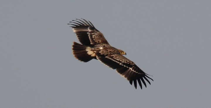 Rare satellite-tagged Eastern Imperial Eagle appears in Malta