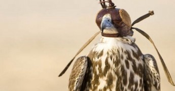 Draft regulations launched for public consultation on falconry