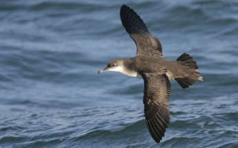 Half of Maltese waters are internationally important for seabirds