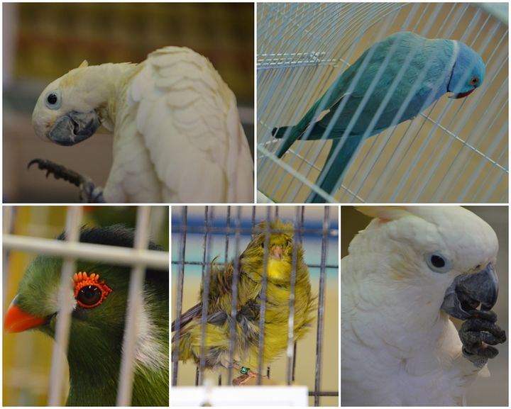Gozo Bird Breeders Show taking place this weekend in Xewkija