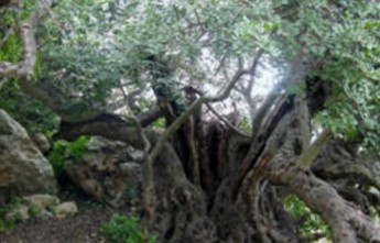 Malta's Heritage Trees - Amazing Plant Monuments: DLH lecture