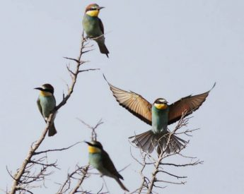 Update: EC requests justifications for spring hunting - BirdLife