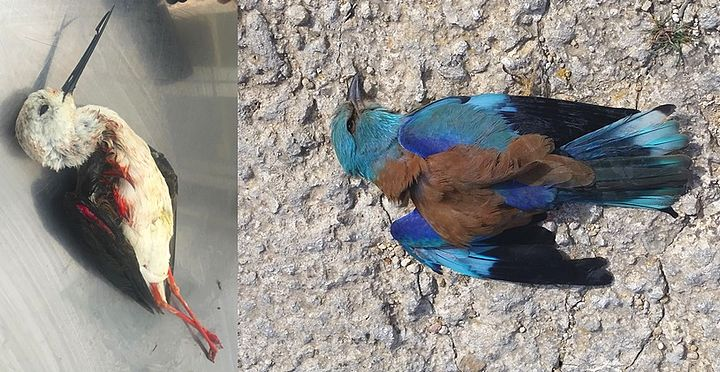 Goverment's zero tolerance is just a gimmick - BirdLife Malta