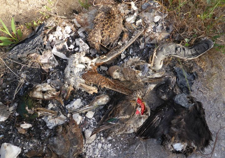 Half-burnt remains of illegal bird trophy collection found in Malta - CABS