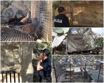 Illegal Turtle Dove trapping on Gozo – 68 live birds confiscated by police