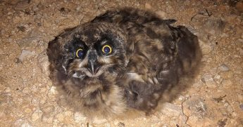 Short-eared Owls breed successfully in a bird sanctuary