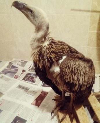 Maximus: Rescued Griffon Vulture now being nursed in Palermo