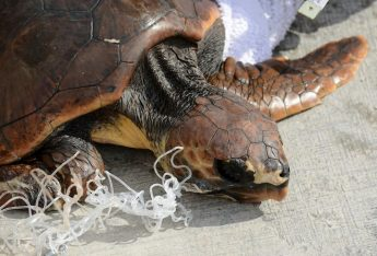 Two turtles released after 9 months of rehabilitation