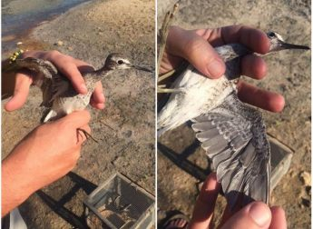 Police seize two sandpipers from illegal trapping site on Gozo