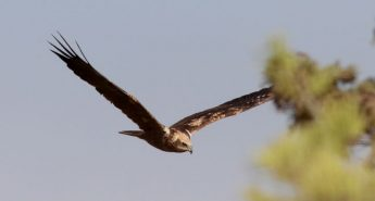 Autumn on the islands with flocks of raptors and the magic of migration