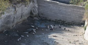 Welfare of ducks in Xaghra water culvert causing concern