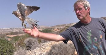 Common Kestrels released on Comino after weeks of rehabilitation