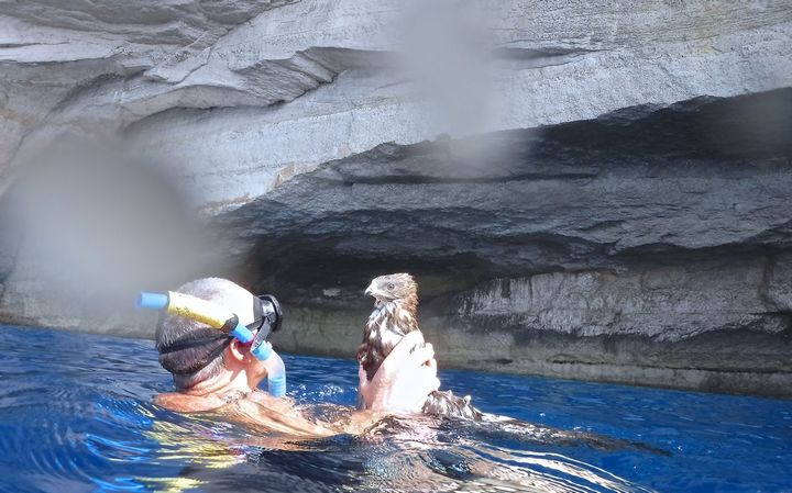 Update - Snorkeler retrieves shot Honey Buzzard from sea in Gozo
