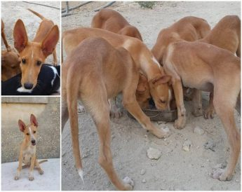 Six tal-Fenek cross puppies needing loving homes