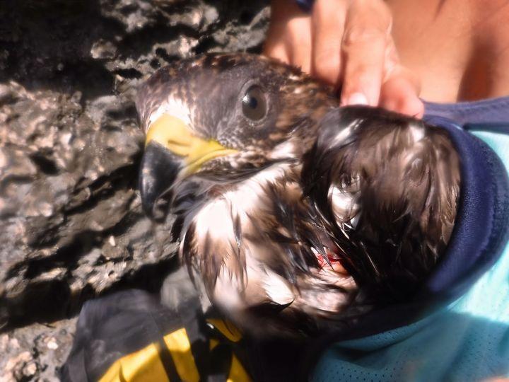 Update Photos - Snorkeler retrieves shot Honey Buzzard from sea in Gozo