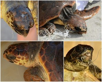 2 young injured turtles rescued with ingested fishing lines