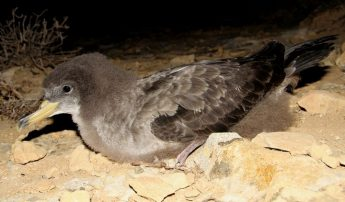 BirdLife appeals to the public to help stranded seabird fledglings