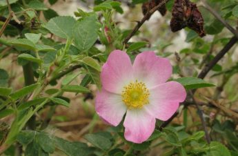 A species of rose saved from local extinction at Wied il-Lunzjata