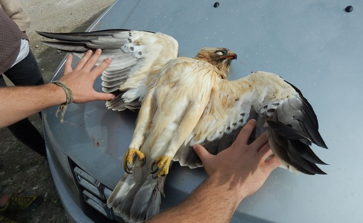 Exceptional eagle migration leads to more illegal hunting - BirdLife