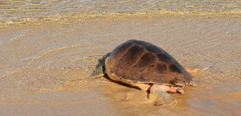 Two loggerhead turtles released following rehabilitation