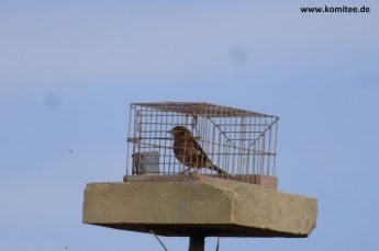 Gozitan fined €3.000 for bird trapping during the closed season
