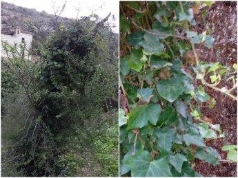 English Ivy is another non-native plant causing damage to trees at Lunzjata