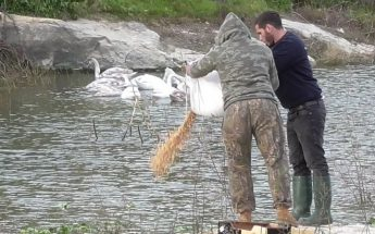 BLM, FKNK and KSU collaborate to feed the Mute Swans in Gozo