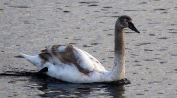 Injured juvenile Mute Swan sighted in Malta, not part of Gozo flock