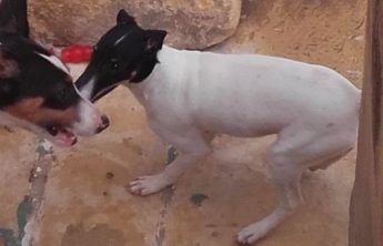 Jason the Terrier is at Gozo SPCA waiting for his forever home