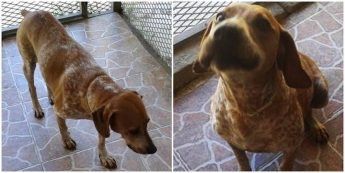 Laban, is a loving, friendly Pointer waiting for his forever home