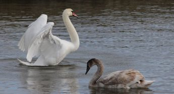 BirdLife appeals to the public not to feed bread to the swans in Marsalforn