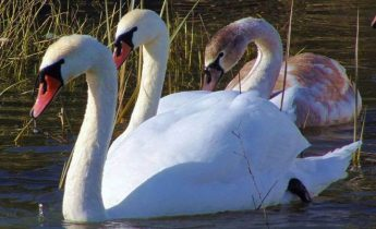 FKNK says its volunteers are willing to continue to feed swans