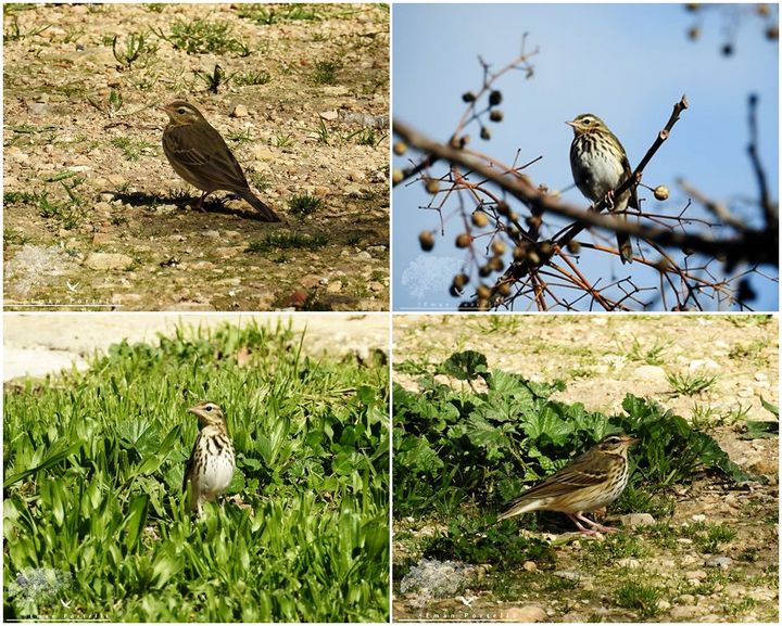 Very rare Olive Backed Pipit photographed by KSU member