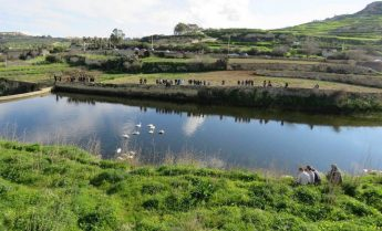 Swans remain on Marsalforn artificial reservoir - BirdLife