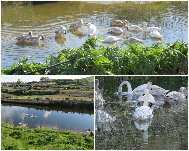 Gozo reservoir attracts 12 Mute Swans, adults and juveniles