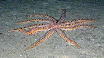 Starfish with 10 to 11 arms spotted in the Mediterranean
