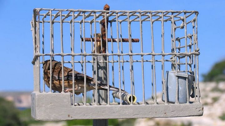 The Finch Trap: European Commission vs. Malta - BirdLife Europe