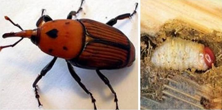 Gozo information session on the Red Palm Weevil