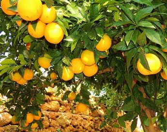Plant Health Directorate information on the Citrus Tristeza Virus (CTV)