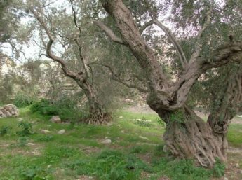 ERA protects rare and endangered trees in 30 areas, including 7 in Gozo