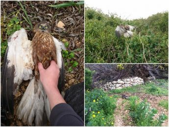 Protected Marsh Harrier is first casualty of spring hunting season