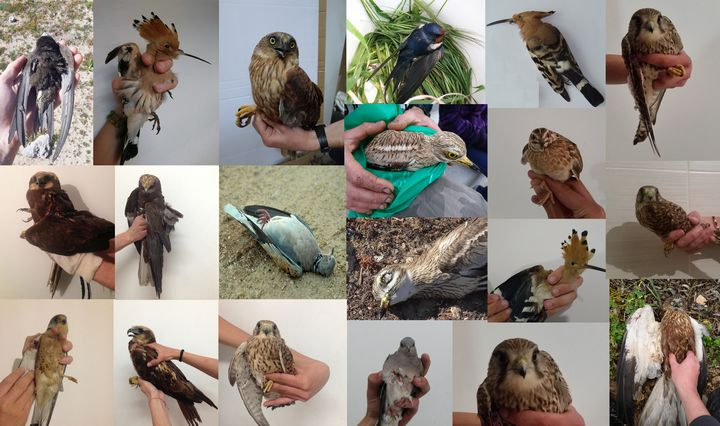 Illegal hunting is the highest in the past 3 years, says BirdLife Malta