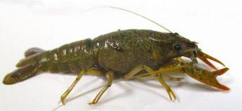 Alien species threaten vulnerable freshwater habitats - Research