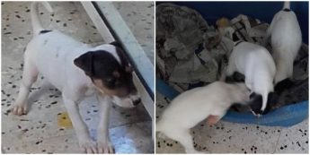Fanny and Freda, playful Fox Terrier puppies needing loving homes