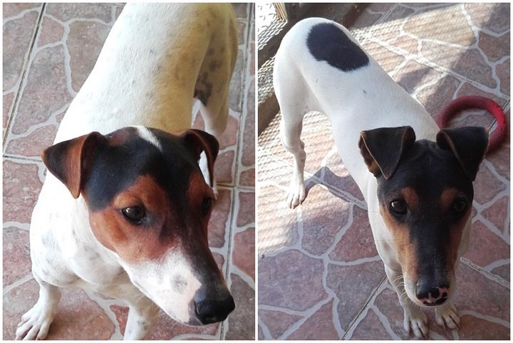Skippy and Simba - 2 lovely Fox Terriers waiting for loving homes