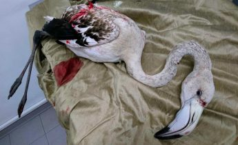 BirdLife demands action from the Government as Flamingo is shot at Hal Far