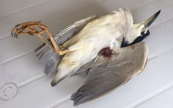 Two protected herons shot in one day in Gozo and Malta